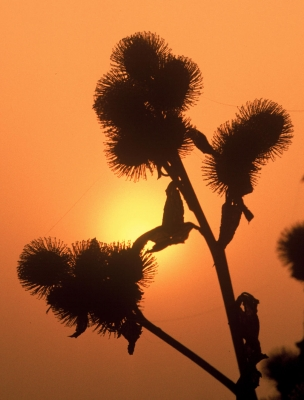 Common Burdock At Sunrise