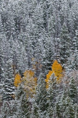 Yellow Aspens And Snowy Trees