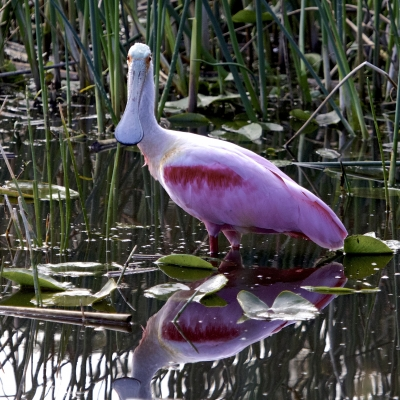 Roseate Spoonbill Reflection 2