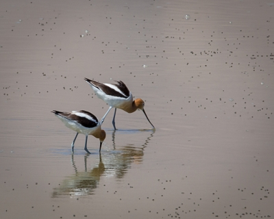 American Avocets Feeding On Brine Flies, Owens Lake