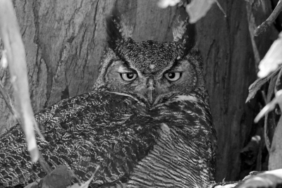 Mama Horned Owl On The Nest