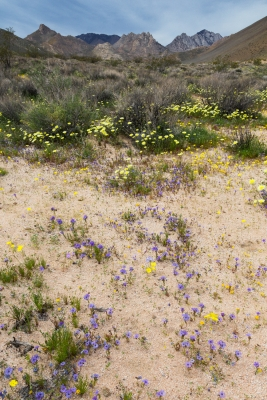 Desert Wildflowers, Short Canyon (eastern Sierra)