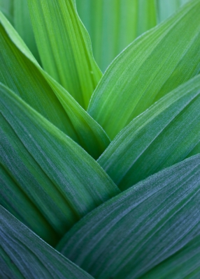 False Hellebore Detail (corn Lily)