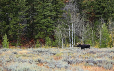 Moose In Fall Color