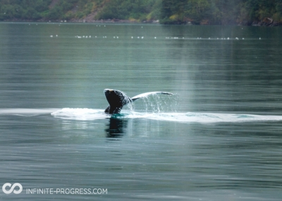 Young Humpback Whale Feeding In Kenai Fjords National Park
