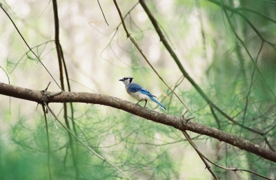 Blue Jay In The Pines