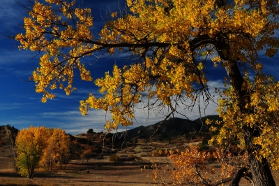 Ute Valley Cottonwoods