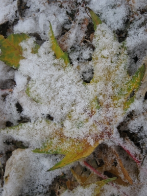 Snow Dusted Leaves