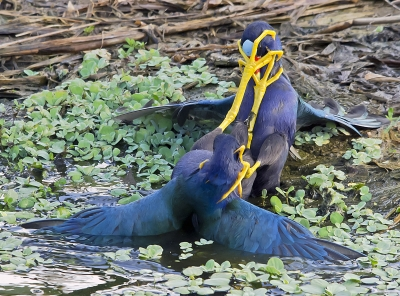 Purple Gallinules Fighting