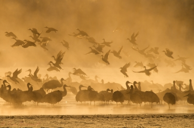 Cranes Linger In The Morning Mist While Geese Depart