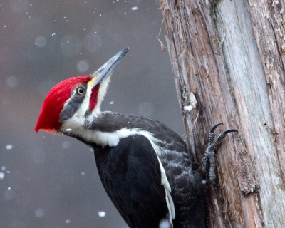 Pileated Woodpecker In Spring Snow