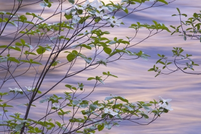 Dogwood Along Merced River