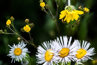 Crested Butte Wildflowers Macro