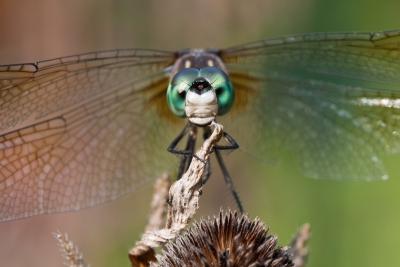 Blue Dasher Head On