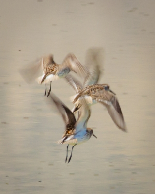 Dowitchers In Flight, Owens Lake