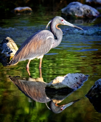 Tri-colored Heron Reflections