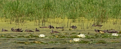 A Panorama Of Wood Duck Families