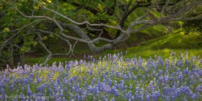 Lupine And Oak Woodland, Central Coast