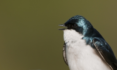 Portrait Of Tree Swallow Calling