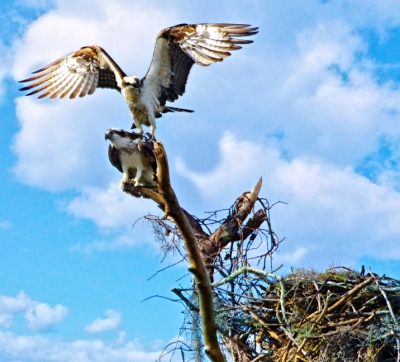 Osprey Breeding Time In Florida