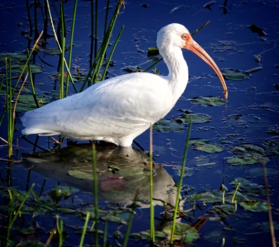 White Ibis Searching For Breakfast