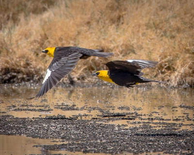 Yellow-headed Blackbirds, Dirty Socks Hot Spring