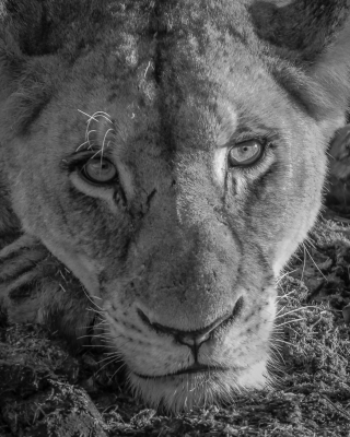 Lioness Eyes