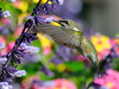 Hummingbird In A Colorful Background