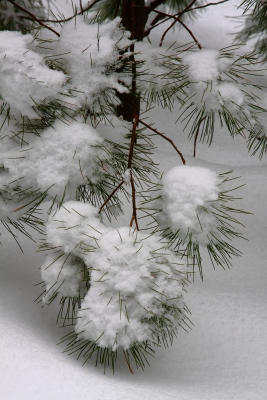 Snowy Pine Branches