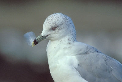 Gull With Feather