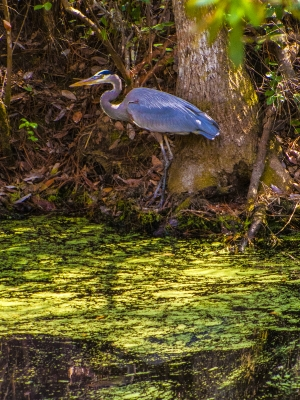 Heron Lords Over Bacteria