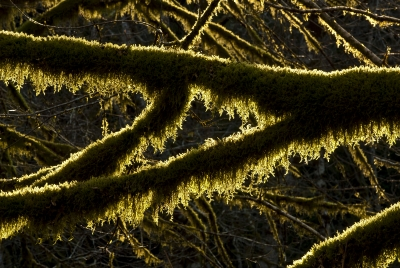 Backlit Tree Moss