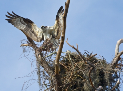 Osprey Departing The Nest