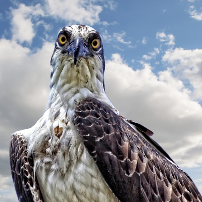 Serious Eye Contact With An Osprey