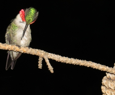 Ruby Throat Hummingbird Getting Ready For Bed.