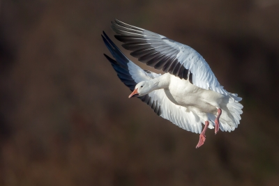 Incoming Snow Goose