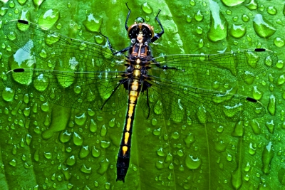 Dragonfly In Downpour