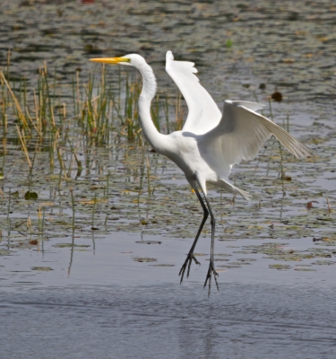 Great Egret Ballet