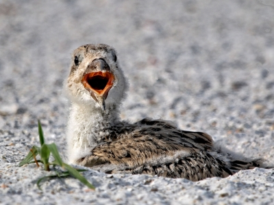 Newly Hatched Baby Black Skimmer