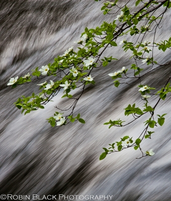Dogwoods Over The Merced River (yosemite)