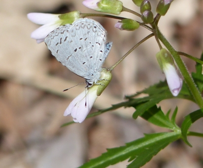 Silvery Blue Butterfly (closed)