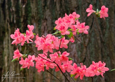 Clusters Of Pink
