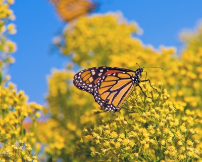 Monarch Butterfly Migrating To Mexico