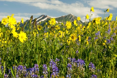 Wildflowers And Snow-capped Mountains