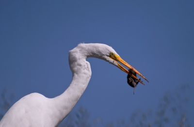 Great Egret With Gopher