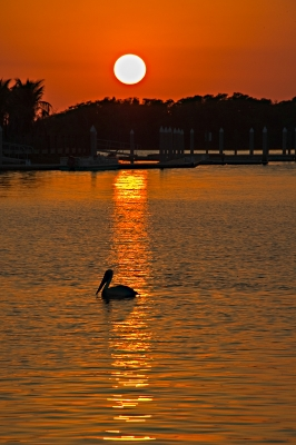 Pelican In Sunset Everglade City