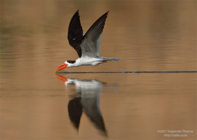 Indian Skimmer Skimming