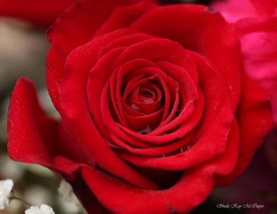 Romantic Red Rose