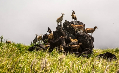 A Herd Of Goats On A Lava Rock