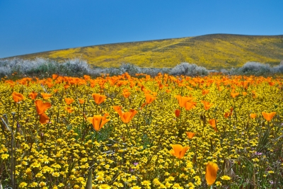 Poppies And Goldfields In Antelope Valley